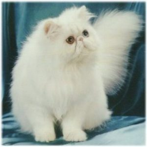 cropped-persian_cat_white1.jpg